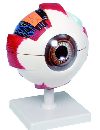 XL Model van het oog Dia 16cm Hoog 21cm